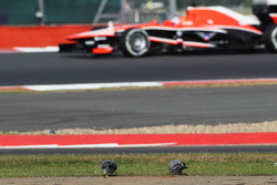 Tio Ellinas, Marussia F1 Team MR02 Test Driver approaches pigeons feeding by the side of the circuit