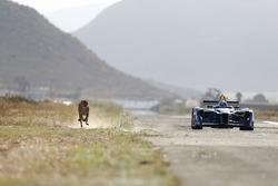 Een jachtluipaard racet tegen een Formule E-bolide
