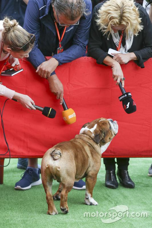 El perro Roscoe de Lewis Hamilton, Mercedes AMG F1, atrae la atención de los medios de comunicación