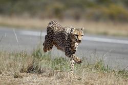 Un guepardo