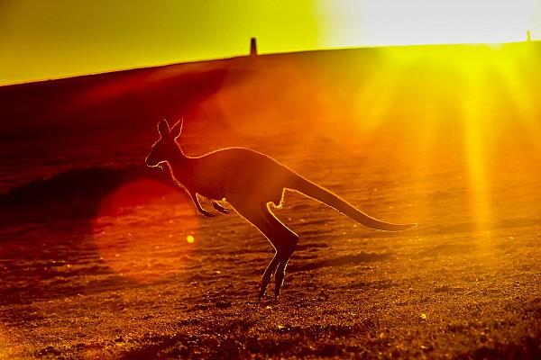 Supercars Новость Кенгуру на трассе: гонке в Австралии (снова) помешала природа