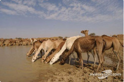 Camels by the river