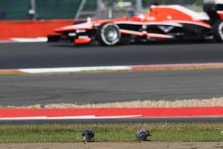 Tio Ellinas, Marussia F1 Team MR02 Test Pilotu approaches pigeons feeding by side, circuit