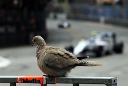 Bir güvercin Valtteri Bottas'ı izliyor, Williams FW36