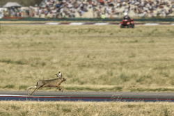 A leaping hare invades the circuit