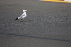 A bird crosses the track during practice